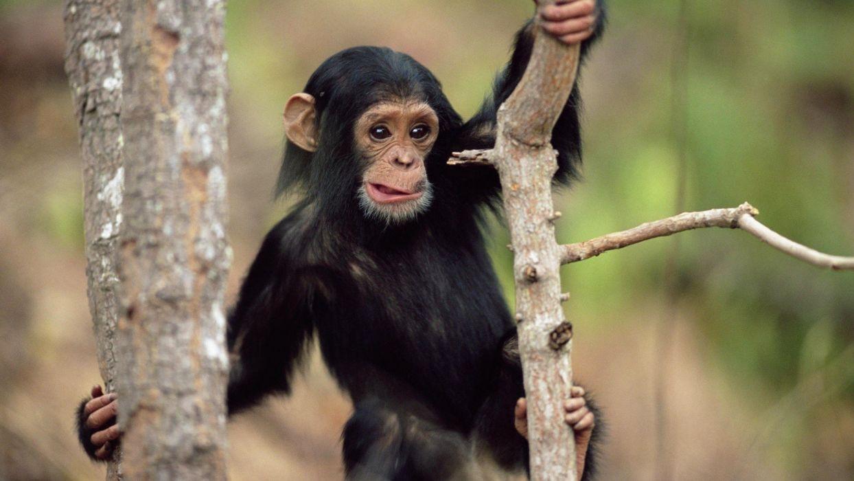 animals apes wallpaper
