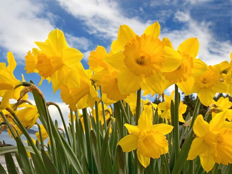flowers daffodils wallpaper
