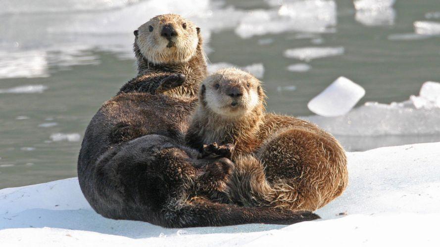 nature Alaska sound otters sea wallpaper