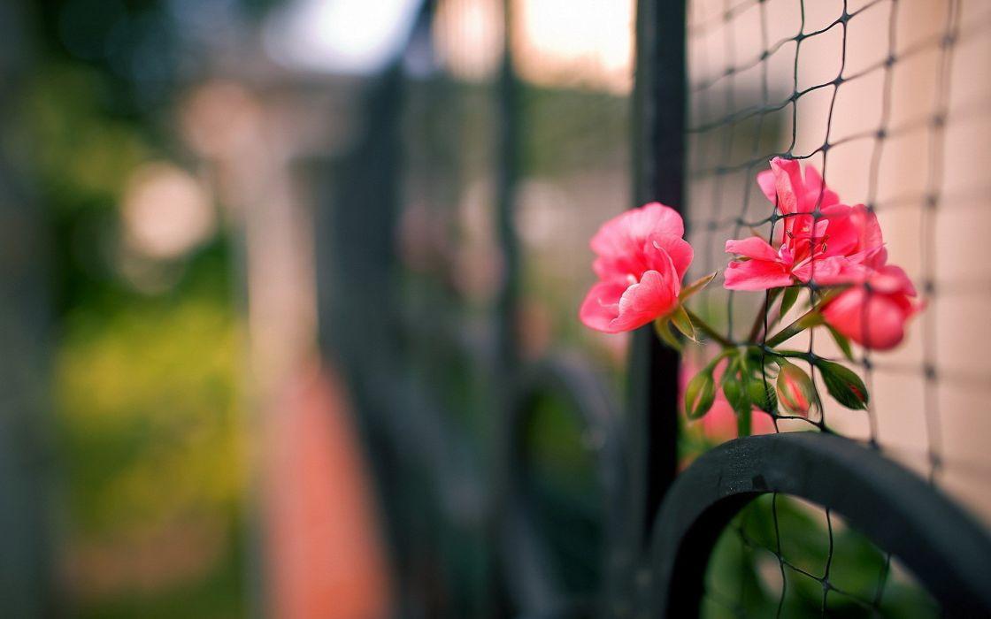 flowers fences depth of field pink flowers wallpaper