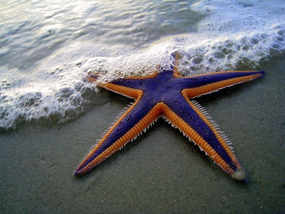 starfish sealife beaches wallpaper