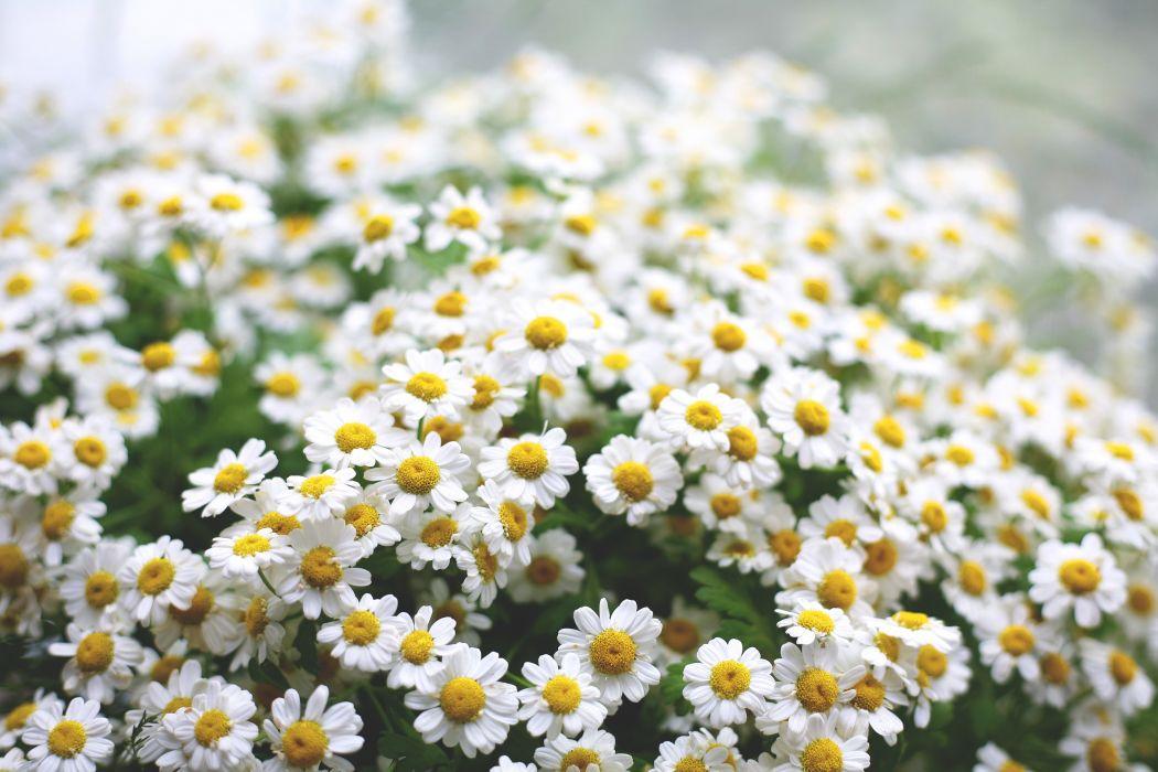 daisies flowers macro green morning wallpaper