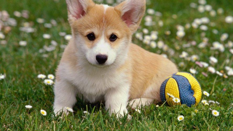 animals dogs puppies Corgi wallpaper