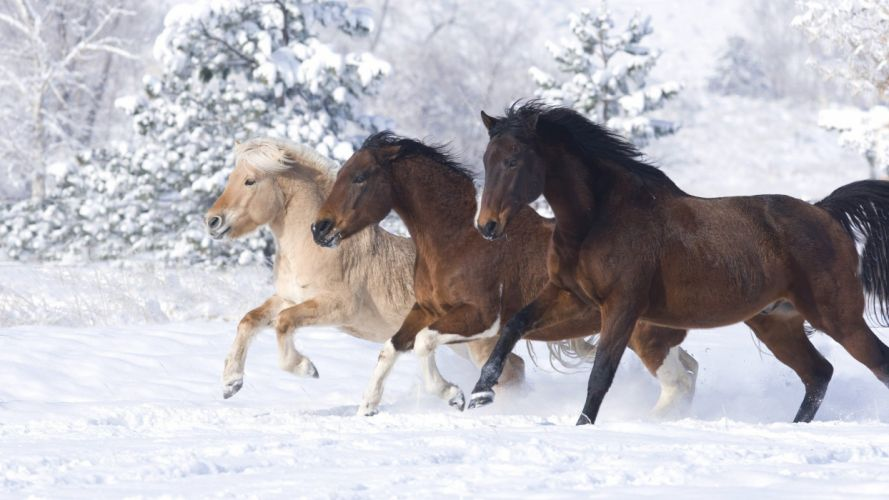 animals Norwegian horses running snow landscapes wallpaper
