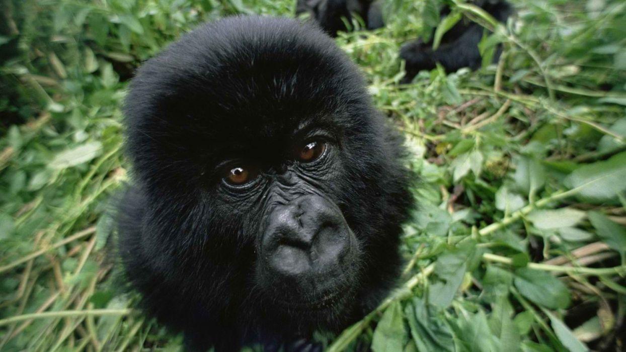 gorillas baby animals wallpaper
