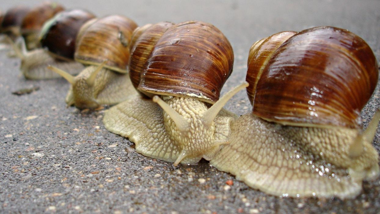 animals snails macro snail mollusks molluscs wallpaper