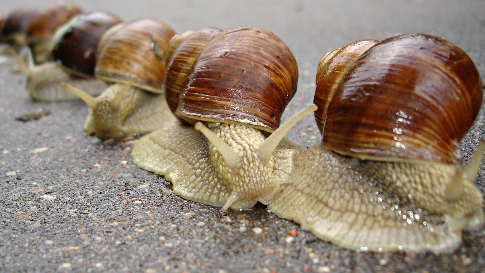Animals snails macro snail mollusks molluscs wallpaper ...