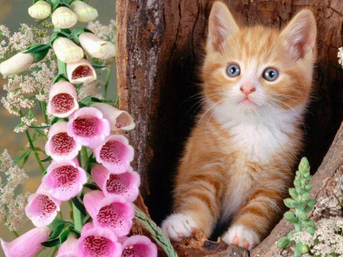 flowers cats animals kittens foxgloves wallpaper