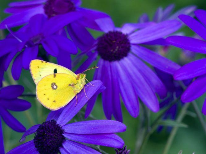 nature flowers purple flowers butterflies wallpaper