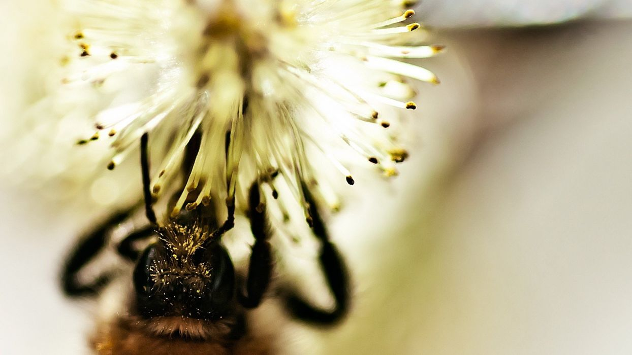 close-up nature bees wallpaper