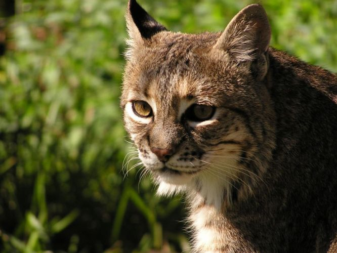 animals lynx wallpaper