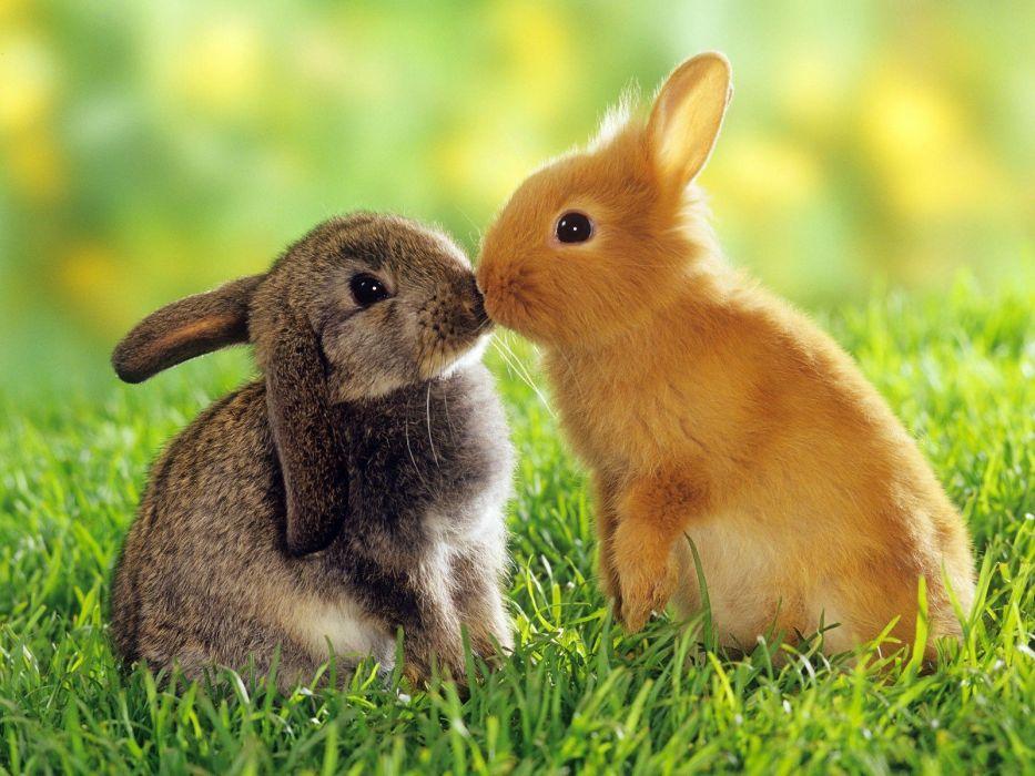 kissing rabbits wallpaper