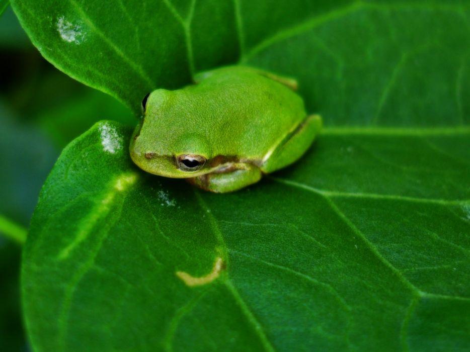 green nature frogs amphibians wallpaper