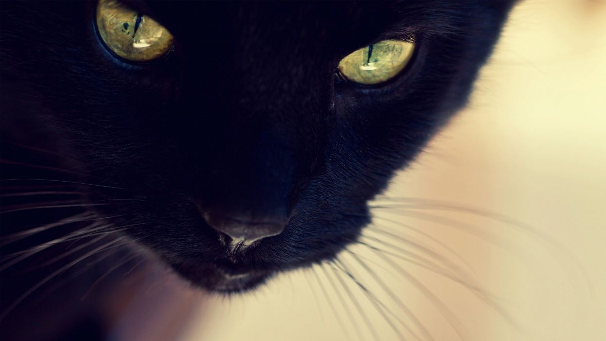close-up indoors cats animals Black Cat yellow eyes furry animals furry domestic cat wallpaper