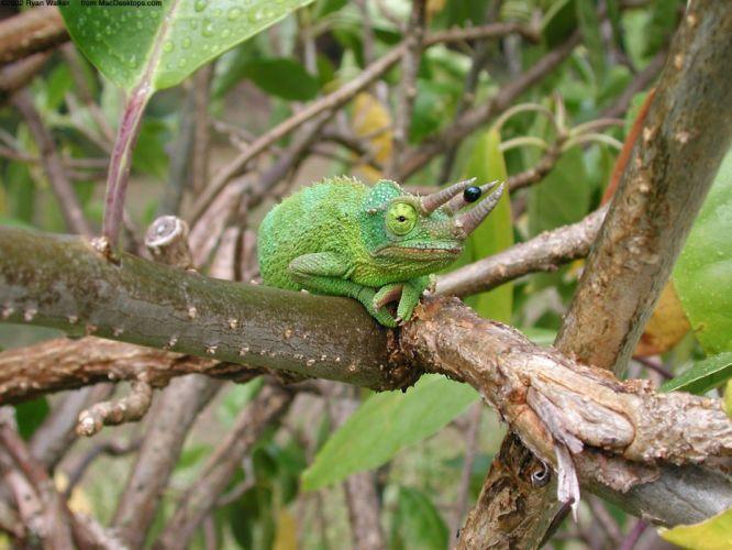 nature chameleons reptiles wallpaper