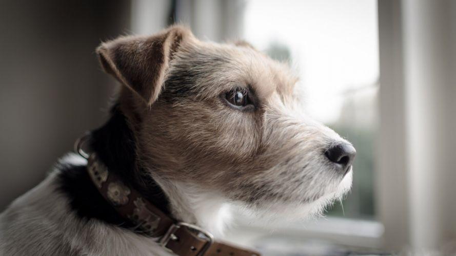 animals dogs Russel wallpaper
