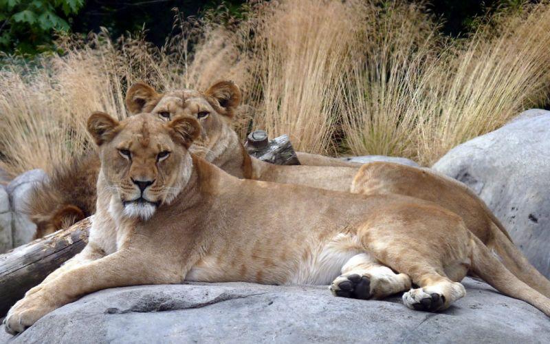 animals lions zoo wallpaper