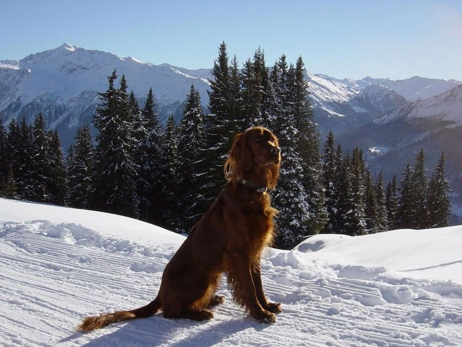 mountains snow trees animals dogs wallpaper