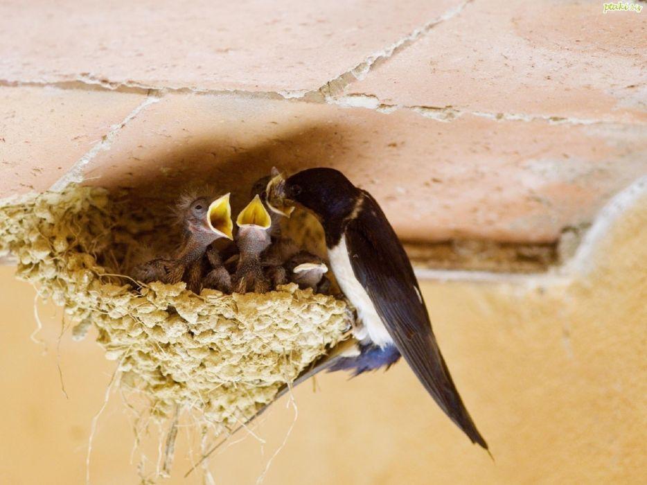 nature birds nest baby birds wallpaper