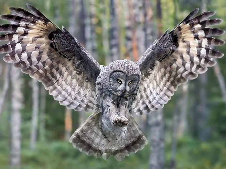 nature forests birds owls wallpaper
