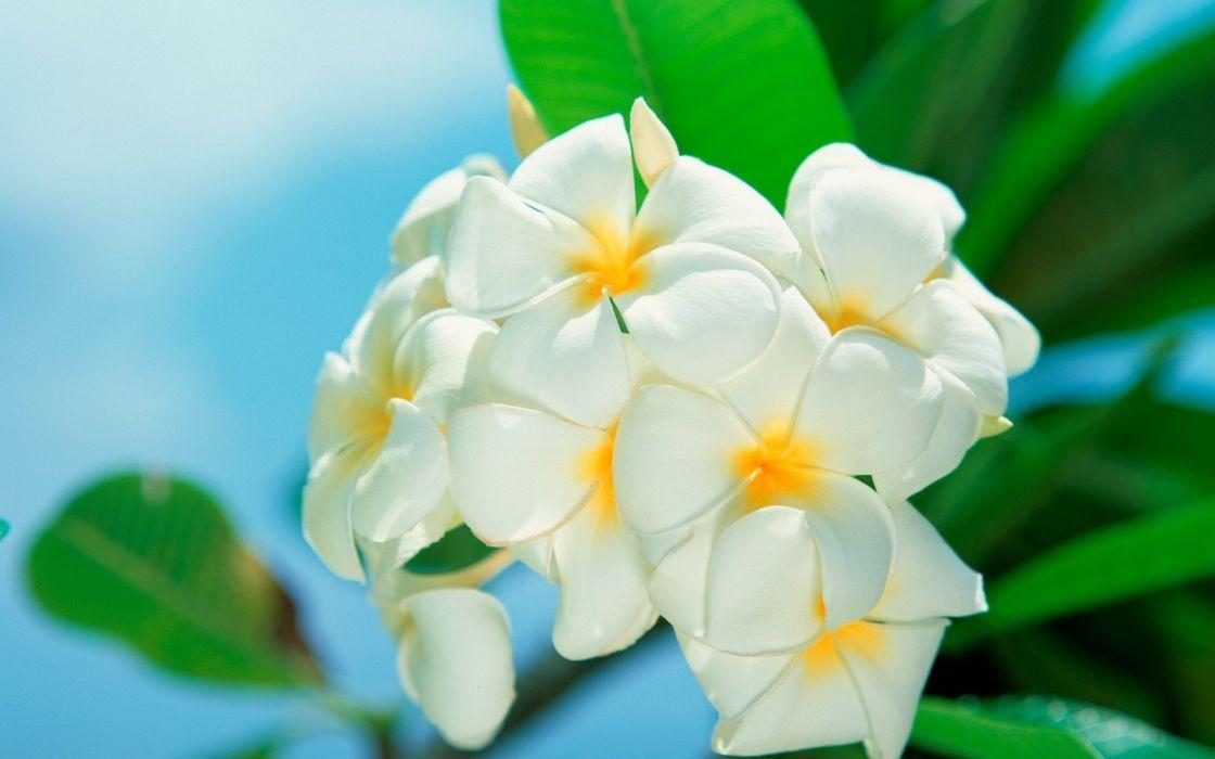 flowers white flowers plumeria beaches wallpaper