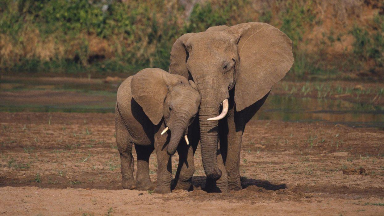 animals national elephants African Kenya baby elephant baby animals wallpaper