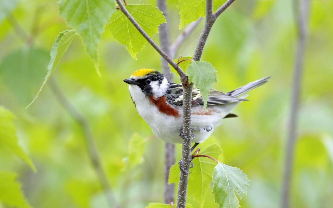 birds leaves Canada male Warblers wallpaper