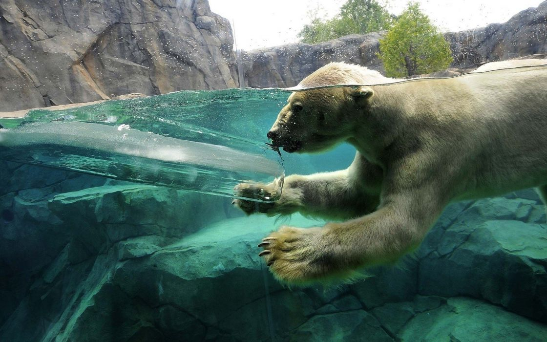 water ice animals zoo underwater polar bears split-view wallpaper