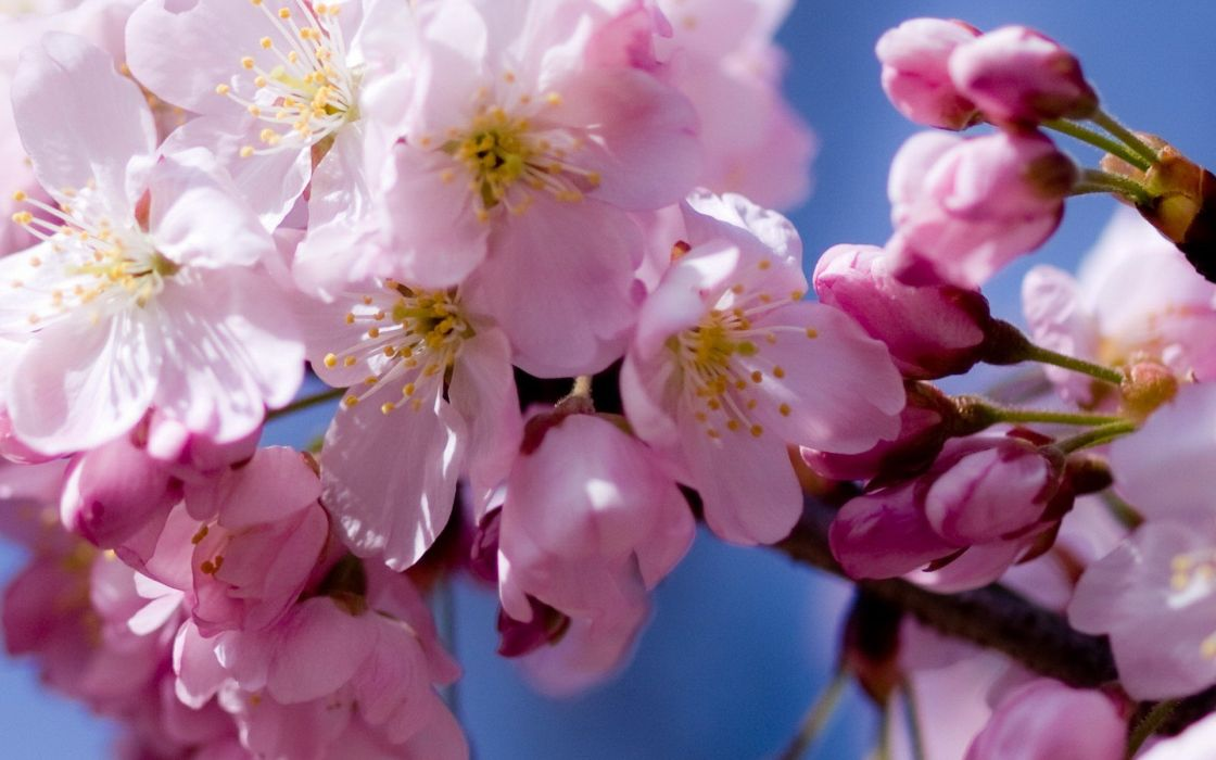 cherry blossoms flowers macro wallpaper