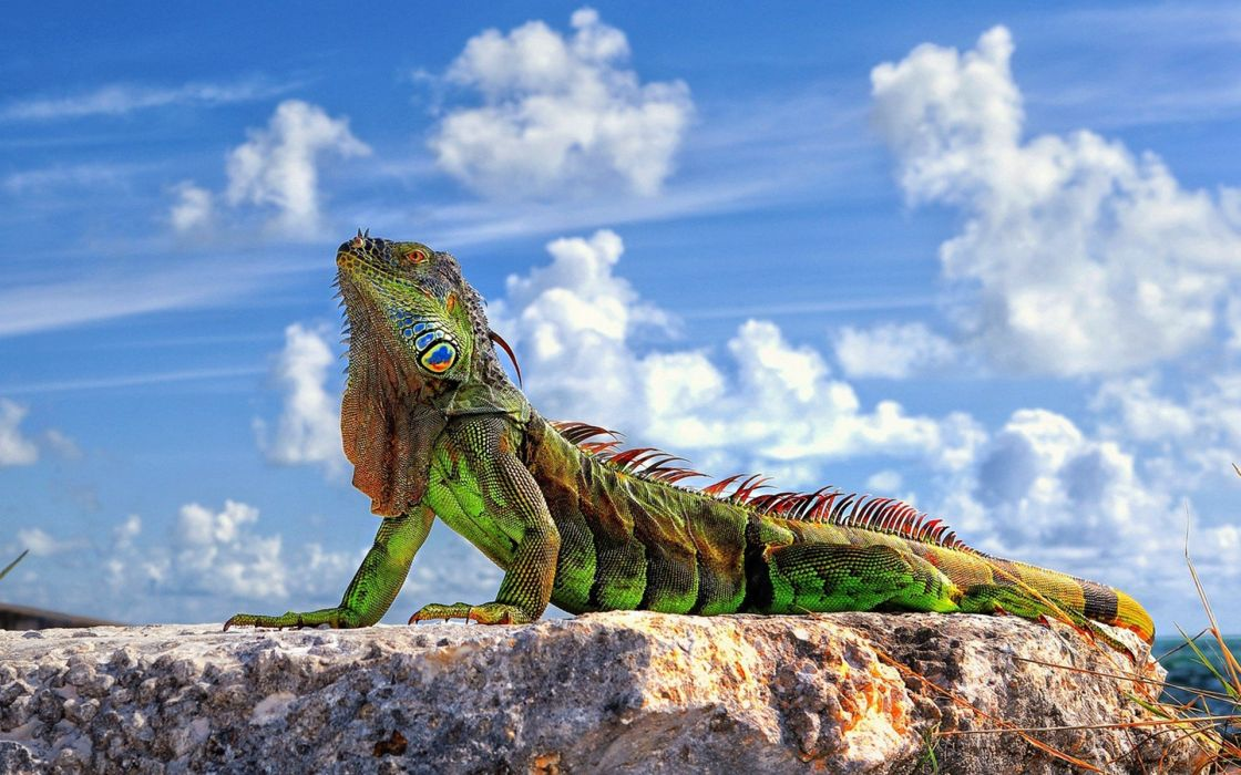 Sun lizards iguana wallpaper