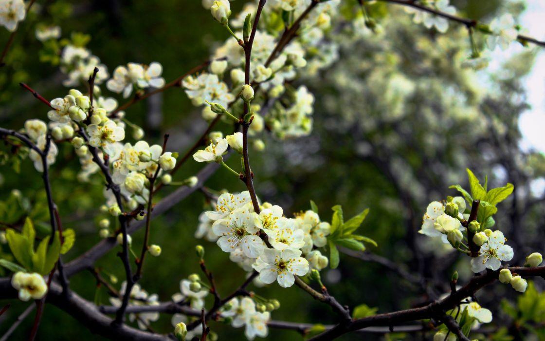nature blossoms depth of field wallpaper