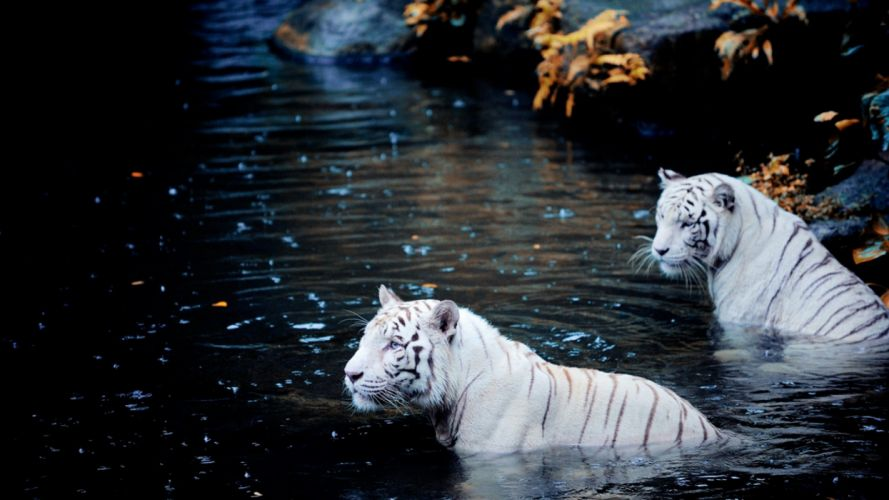 white tigers white tiger wallpaper