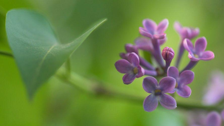 nature flowers leaves bloom lilac depth of field purple flowers wallpaper