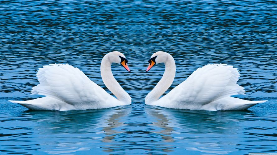 love animals swans lakes wallpaper