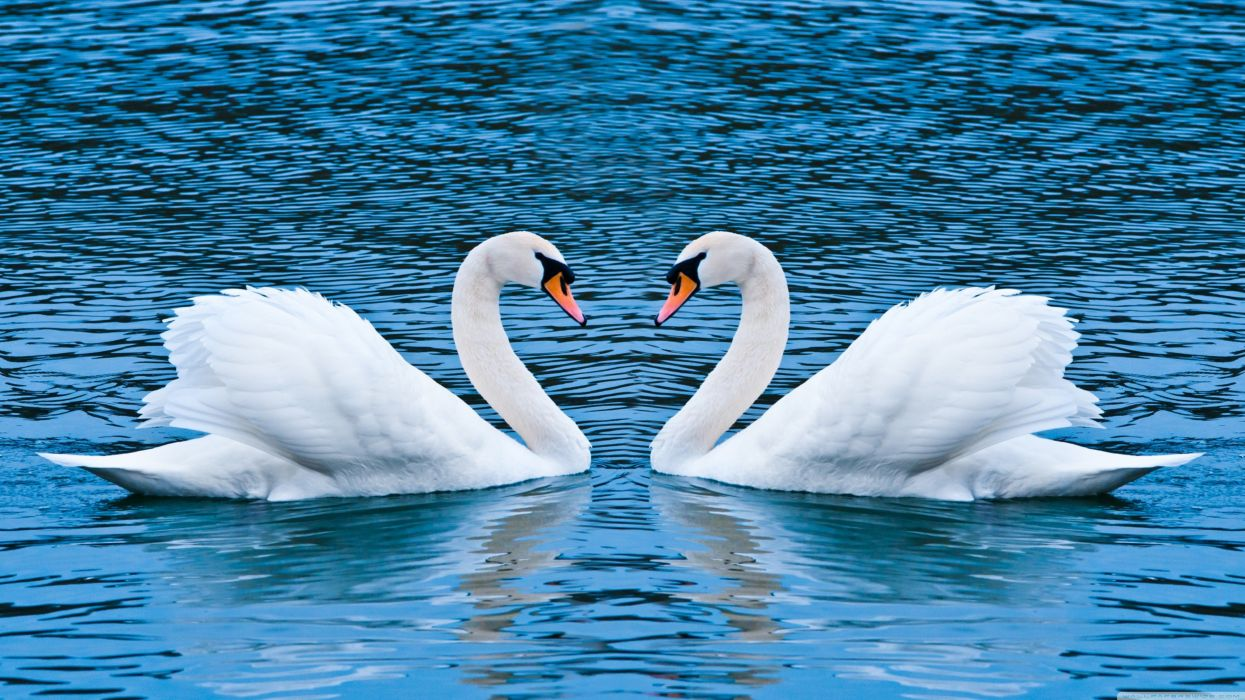 love animals swans lakes wallpaper