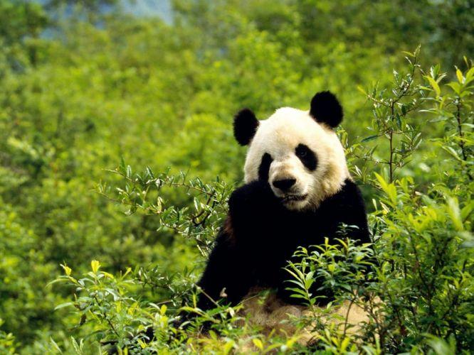 nature animals panda bears wallpaper