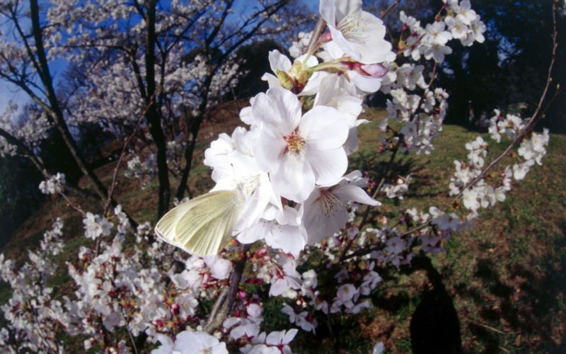 nature cherry blossoms insects butterflies wallpaper