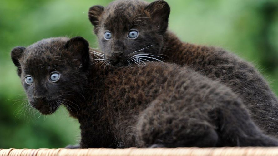 black animals panthers baby animals wallpaper