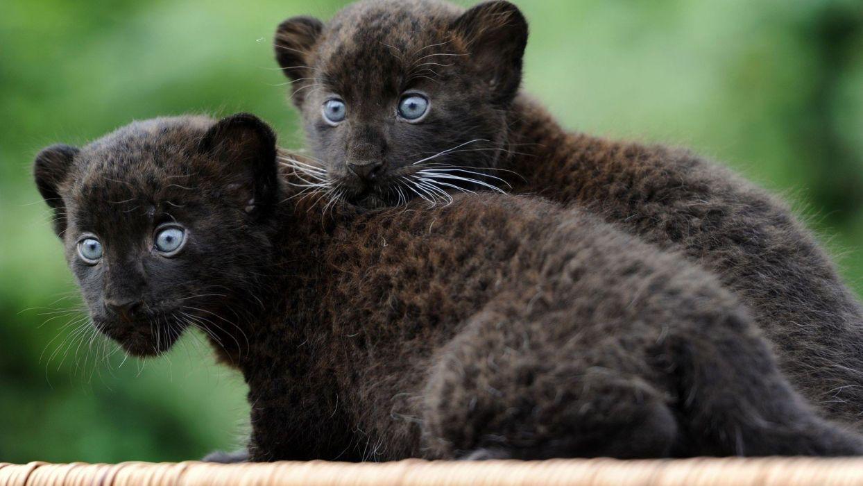 Black animals panthers baby animals wallpaper