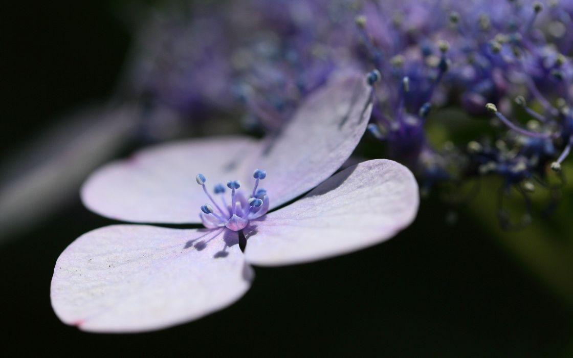 flowers macro purple flowers Hydrangeas wallpaper