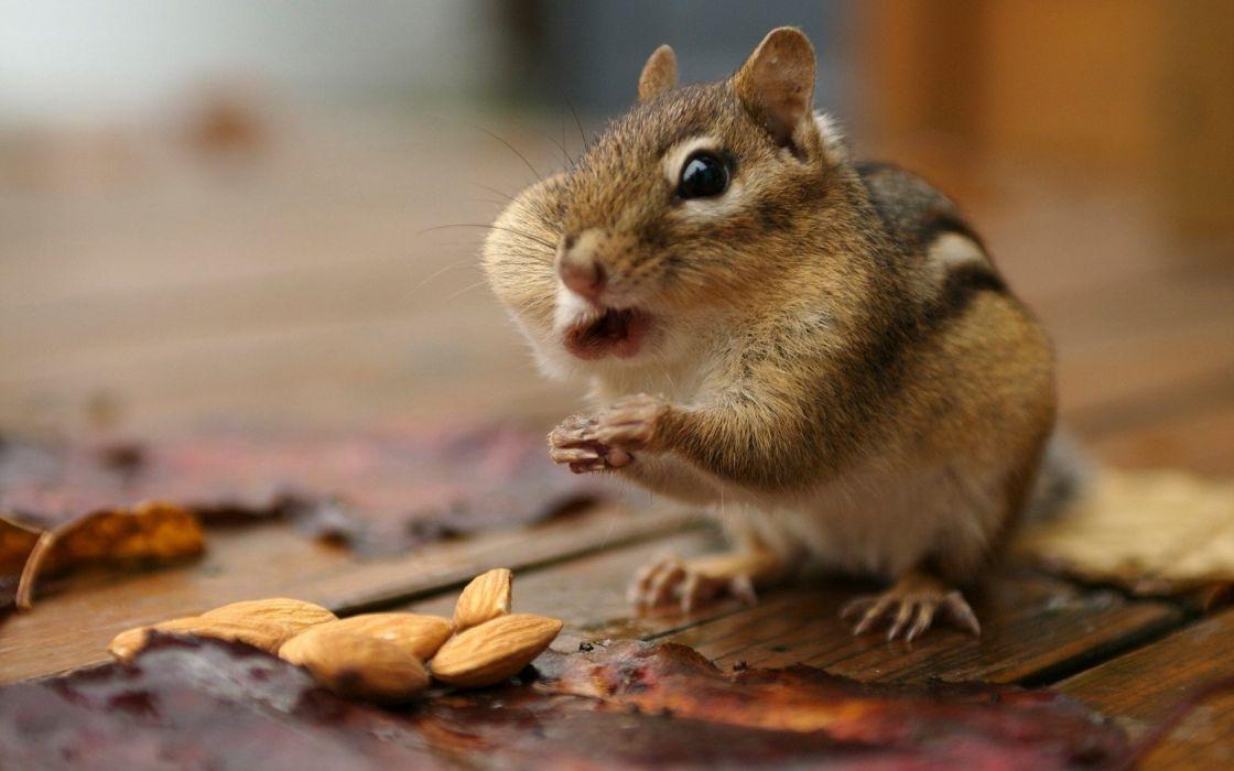 animals chipmunks wallpaper