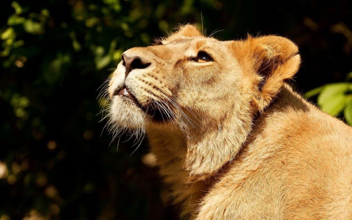 green animals lions wallpaper