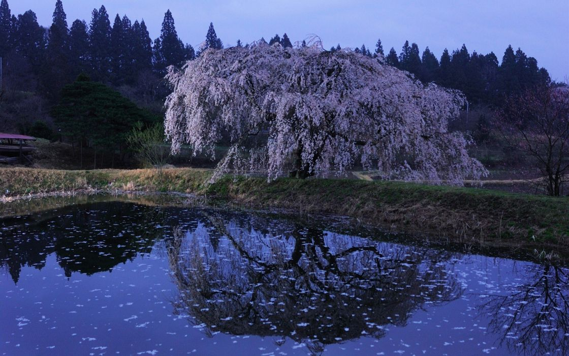 water Japan cherry blossoms flowers spring reflections flowered trees wallpaper