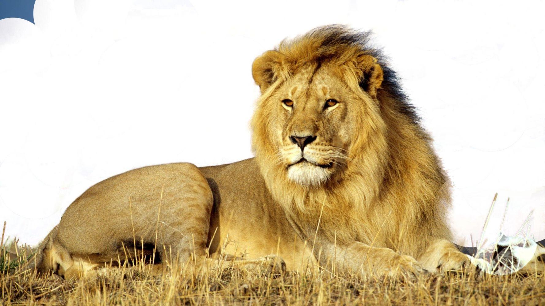 Картинки на белом фоне лев для детей