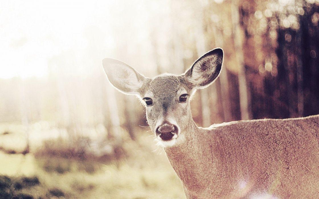 animals deer wallpaper