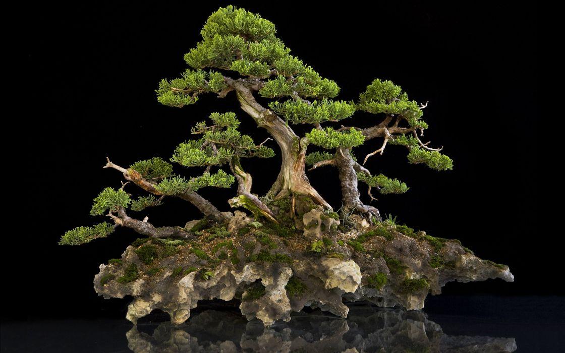 bonsai bonsai tree wallpaper