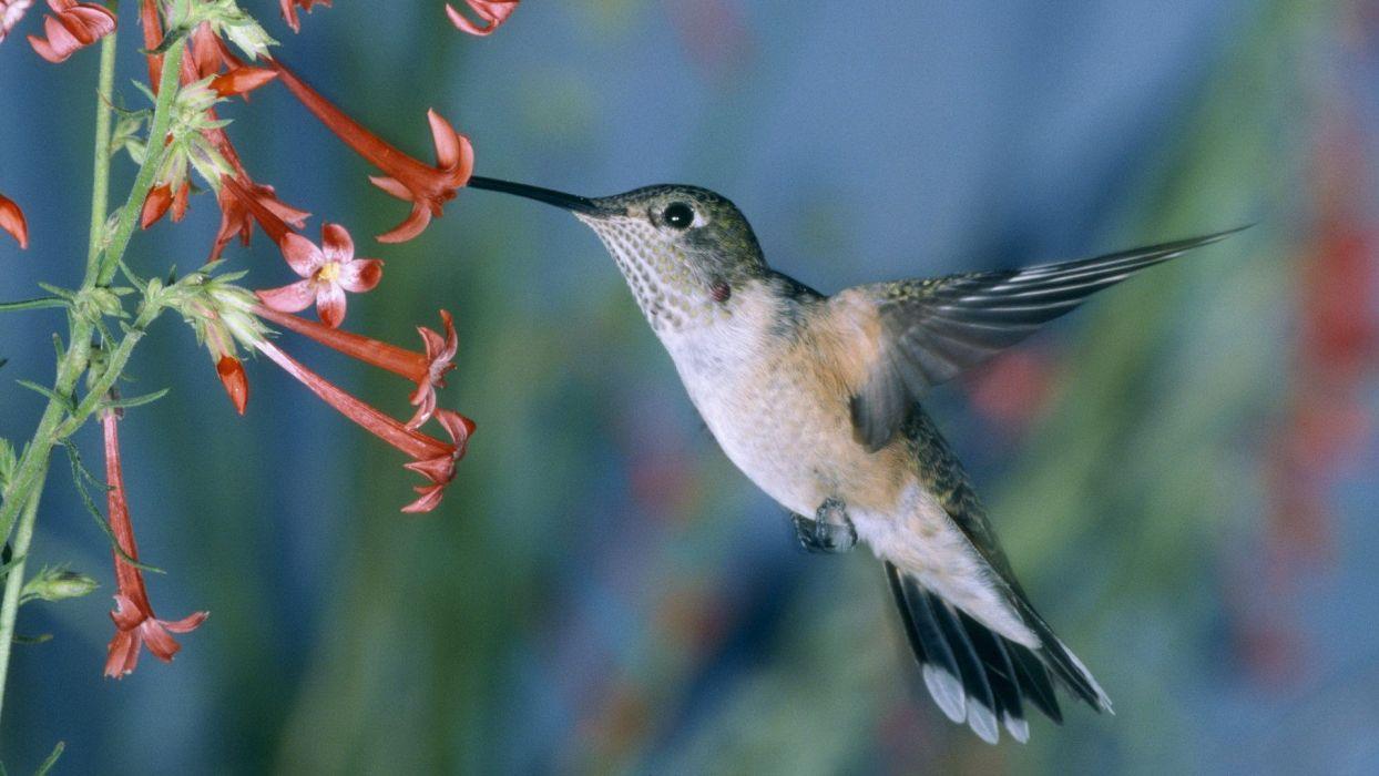 hummingbirds flight feeding wallpaper