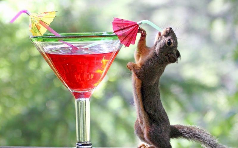 red animals squirrels cocktail drinks drinking blurred background wallpaper