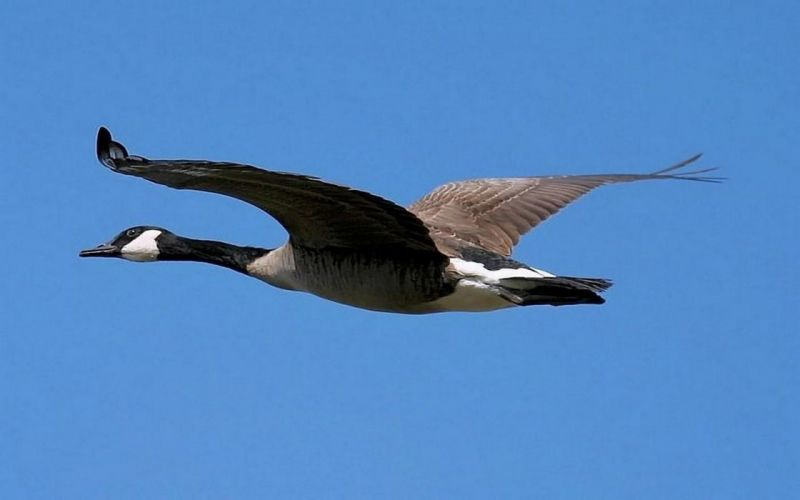 nature birds fly wallpaper