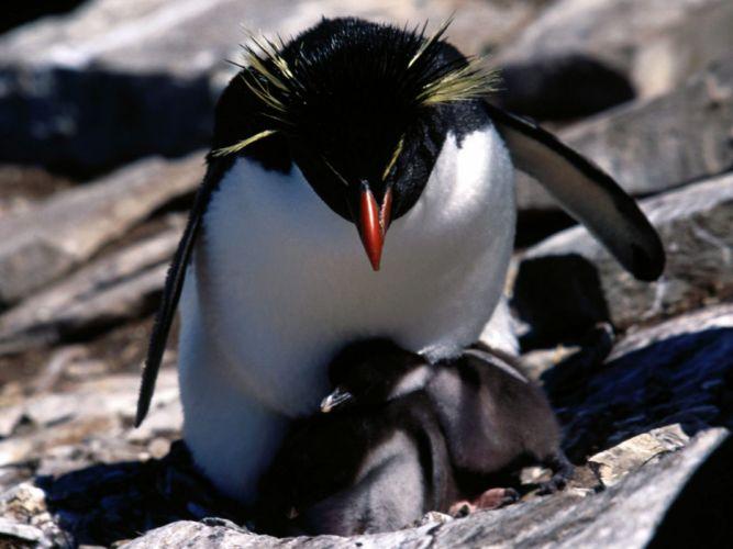 animals penguins baby birds Rockhopper Penguins wallpaper